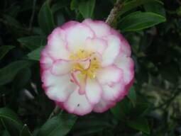 Camellia Sasanqua Paradise Pixie