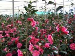camellia hybrid paradise illumination